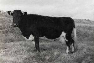 Collafirth Foula Born 1973, One of the foundation cows.
