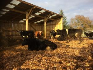 Cows housed for winter