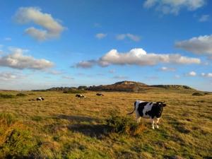 Some of our cattle grazing our ancient grassland looking towards the main headland where our heathland and woodland sit.
